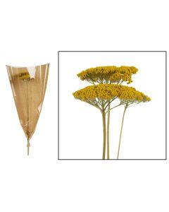 Achillea 3pc 70cm Yellow